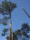 man pruning a large tree