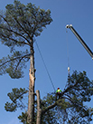 man pruning a large tree