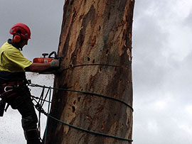 assured tree care man cutting down tree