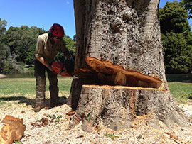 assured tree care man cutting down the tree from the ground
