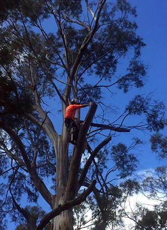 Carving out hollows for the swift parrot to nest in