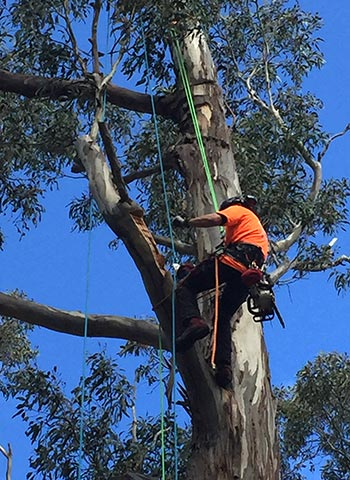 Troy from Assured Tree Care carving out hollows in the trees for swift parrot to nest in
