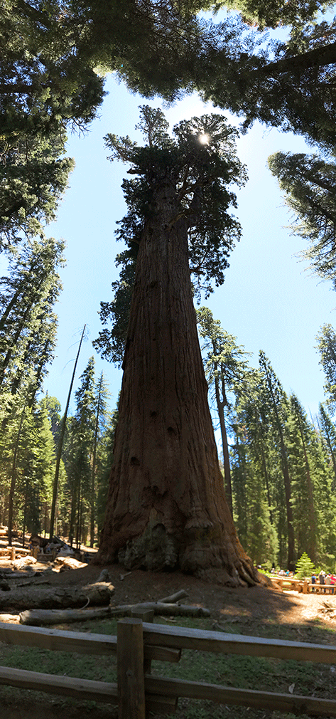 View from the bottom of the general sherman tree