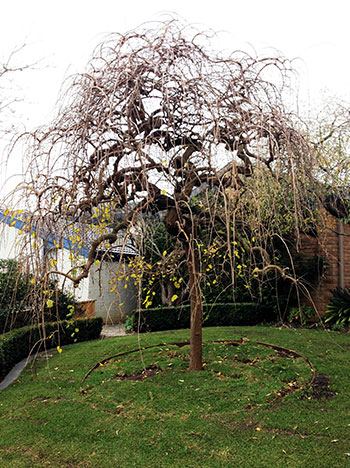 An image of a pruned tree